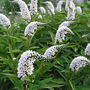 LYSIMACHIA_Clethroides_BP_sq