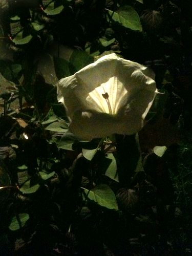 Patti's moonflower2
