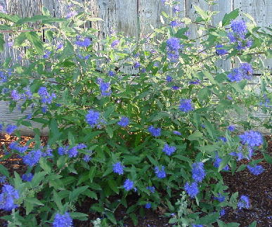 Caryopteris_longwood_blue