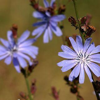 Chicory1