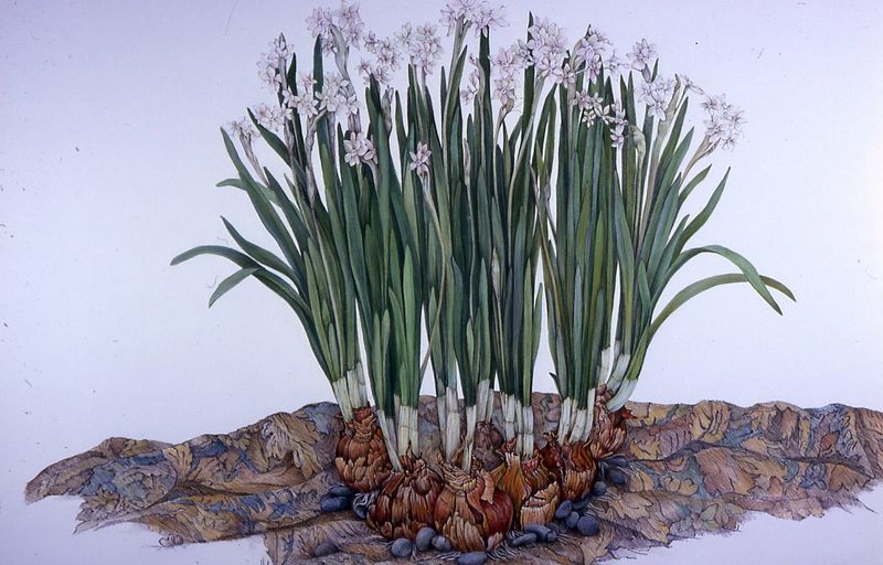 Paperwhites and Tapestry